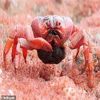 Sự thật đằng sau hình ảnh cua đỏ ở đảo Giáng sinhngấu nghiến nhai thịt con