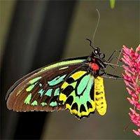 Sự thật ít ai biết về loài bướm lớn nhất thế giới