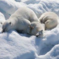 Sự thật không thể ngờ về bộ lông của gấu Bắc cực