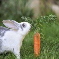 Sự thực về quan niệm thỏ thích ăn cà rốt