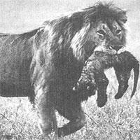 Sư tử mẹ ăn thịt con mình: Tại sao