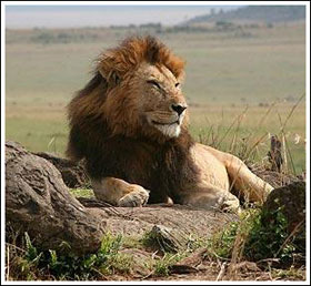Sư tử ở Kenya sắp tuyệt chủng