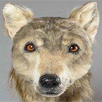 Tái hiện khuôn mặt của con chó 4.000 năm tuổi