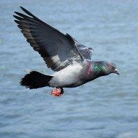 Tại sao chúng ta không bao giờ thấy chim bồ câu con?