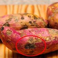 Tại sao có những củ khoai lang bị hà hay bị cứng?