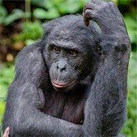 Tại sao con người lại không có bộ lông như tinh tinh hay khỉ đột?