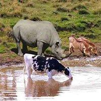 Tại sao động vật hoang dã uống nước nơi ao, hồ bẩn mà không ốm?