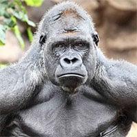 Tại sao khỉ đột, tinh tinh hầu như không cần phải tập luyện mà cơ bắp của chúng vẫn rất phát triển?