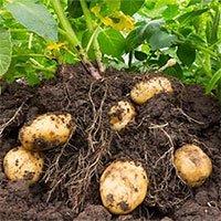 Tại sao khoai tây có mắt?