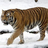 Tại sao không có hổ trên thảo nguyên Mông Cổ?