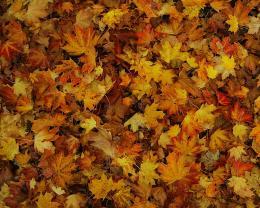 Tại sao lá cây mùa thu tại Hoa Kỳ và châu Âu có màu khác nhau?
