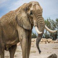 Tại sao loài voi không bị ung thư?