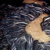 Tại sao lươn Nhật Bản lại đắt như vàng với giá hơn 800 triệu