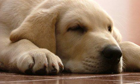 Tại sao mũi chó luôn ẩm ướt?