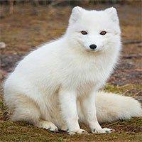 Tại sao nhiều loài động vật có đôi tai màu hồng?