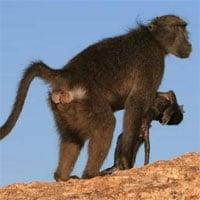 Tại sao nhiều loài động vật ôm xác con mới sinh nhiều ngày?
