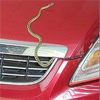 Tại sao rắn thích chui vào ô tô?