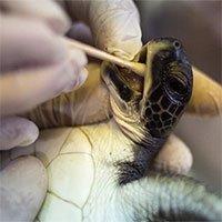 Tại sao rùa sau khi được cứu khỏi vùng biển bị tràn dầu sẽ được cho ăn sốt mayonnaise?