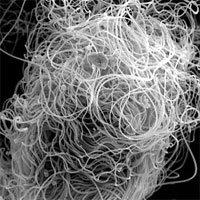 Tại sao ruồi giấm có tinh trùng dài gấp 23 lần cơ thể?