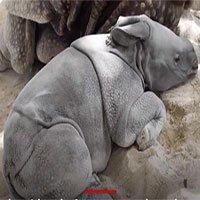 Tê giác chào đời bằng phương pháp thụ tinh nhân tạo đầu tiên ở Mỹ