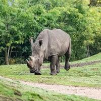 Tê giác chết đuối trong lần đầu 'hẹn hò'