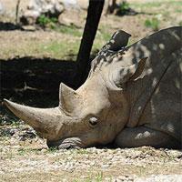 Tê giác trắng già nhất thế giới vừa qua đời