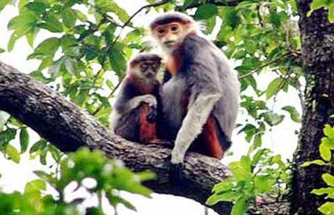 Thả hai cá thể voọc quý hiếm về rừng