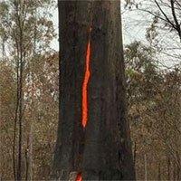 Thân cây lớn cháy rực từ bên trong