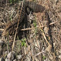 Thằn lằn khổng lồ ăn thịt hoành hành ở Nam Mỹ