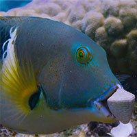 Thán phục cách cá đập vỡ vỏ sò bằng… trí thông minh!