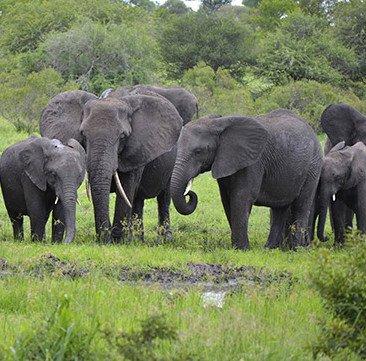 Thêm 26 con voi châu Phi bị đầu độc bằng xyanua