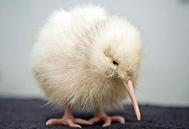 Thêm một chim kiwi trắng quý hiếm ra đời