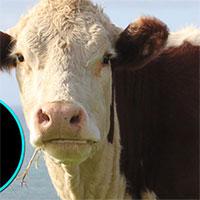 Thịt bò bạn thấy mỗi ngày chỉ chiếm 60% con bò! 40% còn lại để làm những thứ