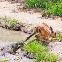 Thoát khỏi cá sấu, linh dương không ngờ