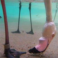 Thú vị cách chim hồng hạc kiếm ăn dưới nước được hé lộ thông qua camera giấu kín dưới nước