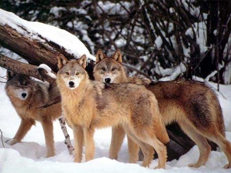 Thụy Điển thanh trừng sói rừng