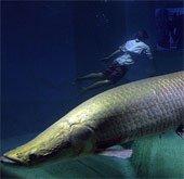 Thủy quái khổng lồ ở sông Amazon trước nguy cơ tuyệt chủng