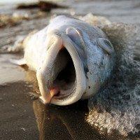 Thủy triều đỏ đầu độc sinh vật biển và con người thế nào