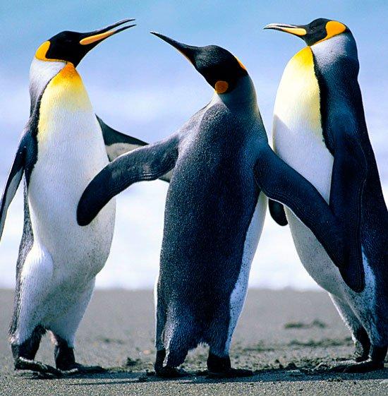 Tiết lộ gây sốc về đời sống tình dục của chim cánh cụt