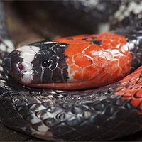 Tìm ra một loài rắn mới, nhưng nơi tìm thấy nó thì không ai có thể tưởng tượng được