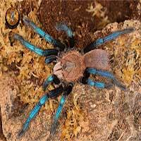 Tìm ra nhện màu ngọc sapphire, khoa học chưa kịp vui mừng đã có nguy cơ bị phạt nặng