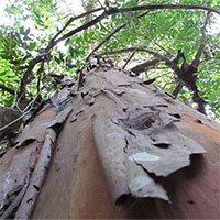 Tìm thấy chất diệt tế bào ung thư mạnh từ cây rừng Tây Nguyên