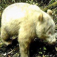 Tìm thấy gấu trúc bạch tạng hoang dã đầu tiên trên thế giới