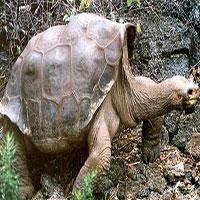 Tìm thấy hậu duệ của rùa khổng lồ