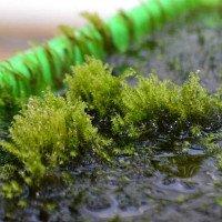 Tìm thấy loài rêu có thể lọc hết arsen trong nước