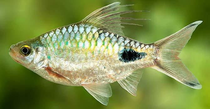 Tìm thấy một giống cá nước ngọt mới ở Sri Lanka