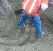 Tìm thấy ngà voi ma mút giữa đường phố Mỹ