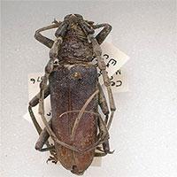 TÌm thấy xác đôi bọ cánh cứng nguyên vẹn 4.000 năm trong khúc gỗ