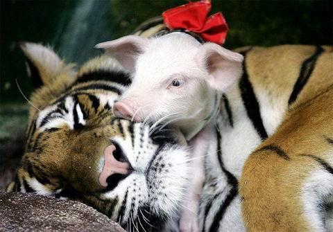 Tình bạn kỳ diệu giữa hổ và lợn