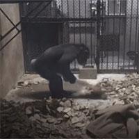 Tinh tinh bắt chước nhân viên vệ sinh, tự quét dọn chuồng bằng chổi
